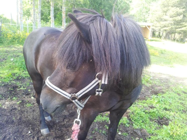 Islandshästar har ett speciellt lugn över sig.